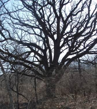 tree-old-with-side-branches-b