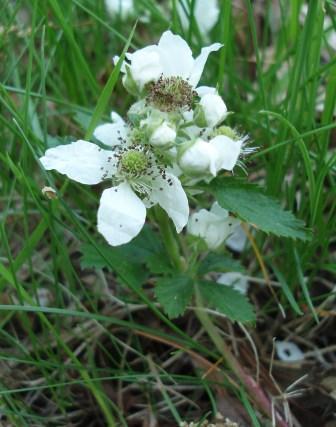 Common dewberry b