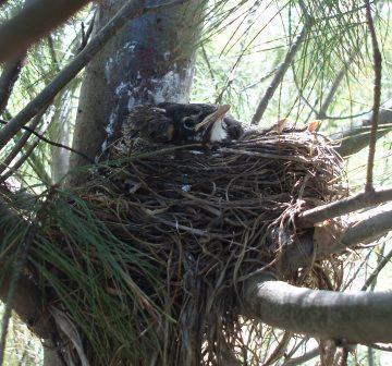 Robin nestlings b