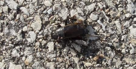 Spring field cricket 2b