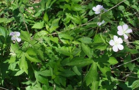 Wild geranium b
