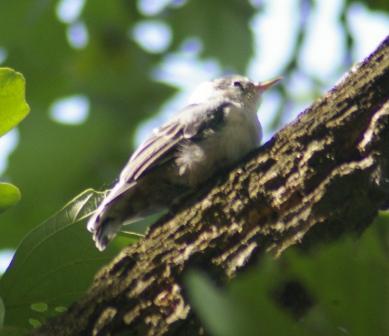 Nuthatch fledge 1b