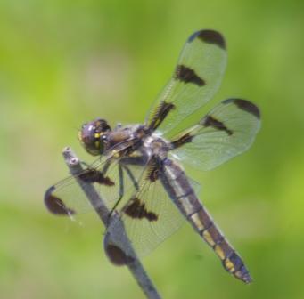 12-spot female b