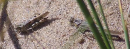 Clearwinged grasshopper 2b