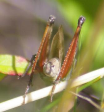 Thomas's broad-winged grasshopper 5b
