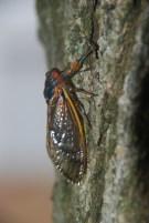 Brood II, 17 year cicada