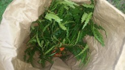 Sweet Fern Collected for Tea