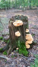 Chicken of the Woods stump