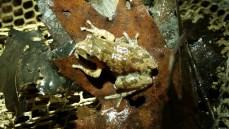 Spring Peeper, Pseudacris crucifer