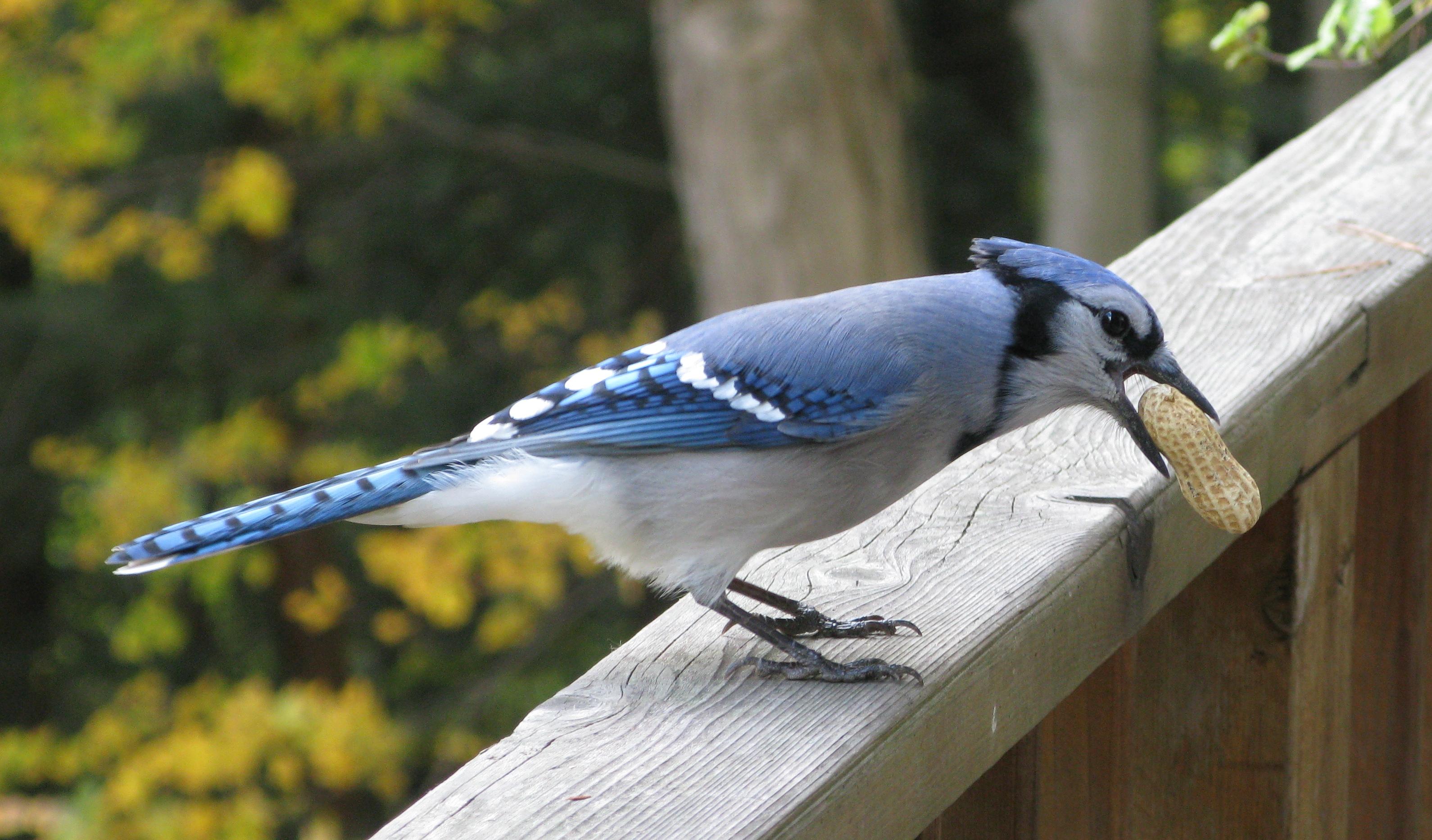 Acerca de Blue Jays | Duncraft