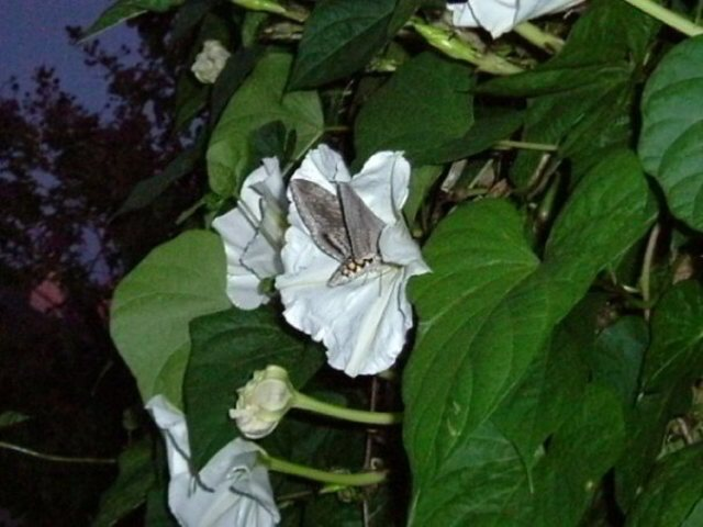 Moonflower and Sphinx Moth Enlarged