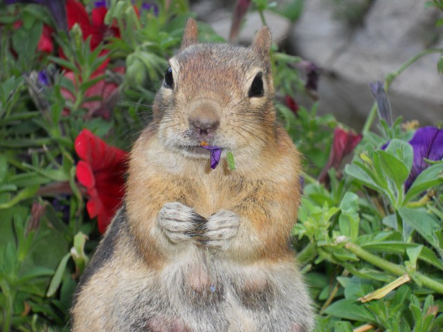 golden mantel ground squirrel eating petunias