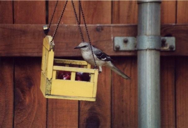 Mockingbird Eating an Apple