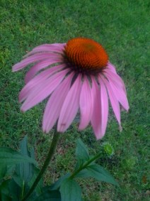 Purple Coneflower in Full Bloom