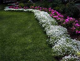 Carpet of Sweet Alyssum