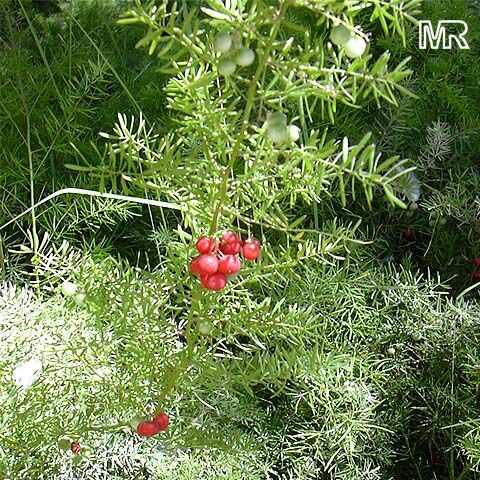 Asparagus Fern Berries