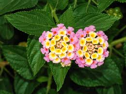 Close up of Lantana blooms