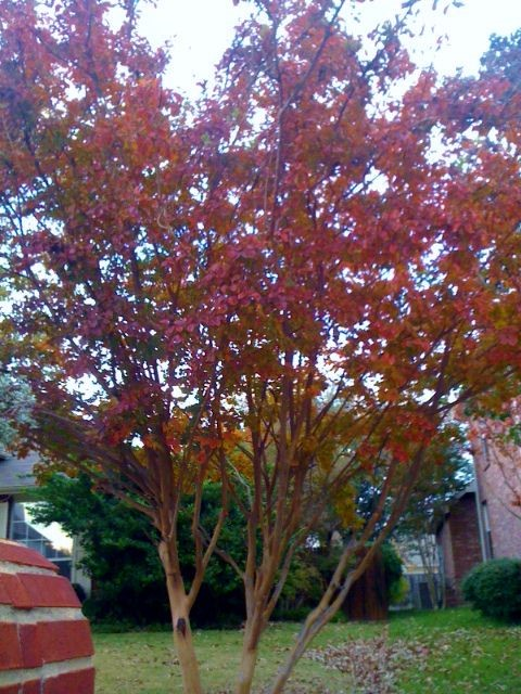 Crape Myrtle's Fall Colors Frisco, TX
