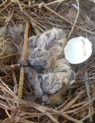 New Mourning Dove Chicks
