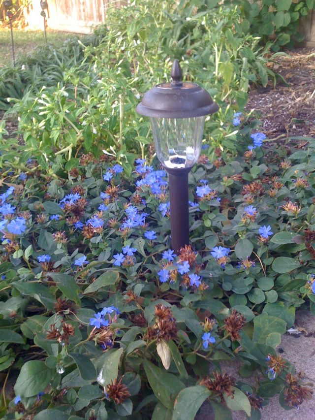 Solar Light and Plumbago