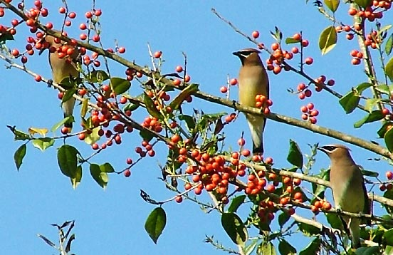 Cedar Waxwings gorging on fall berries. Photo courtesty of http://www.allaboutbirds.org
