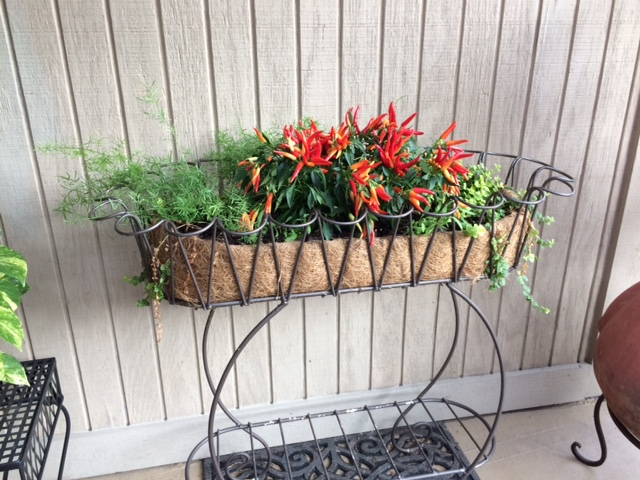 Ornamental Peppers on Patio