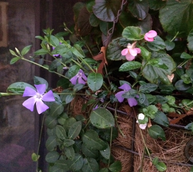 Vinca Minor in Basket of Begonias