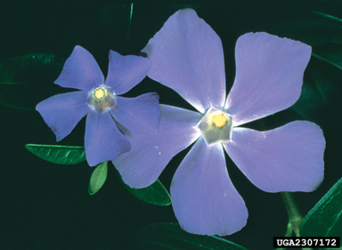 Vinca Minor vs Vinca Major