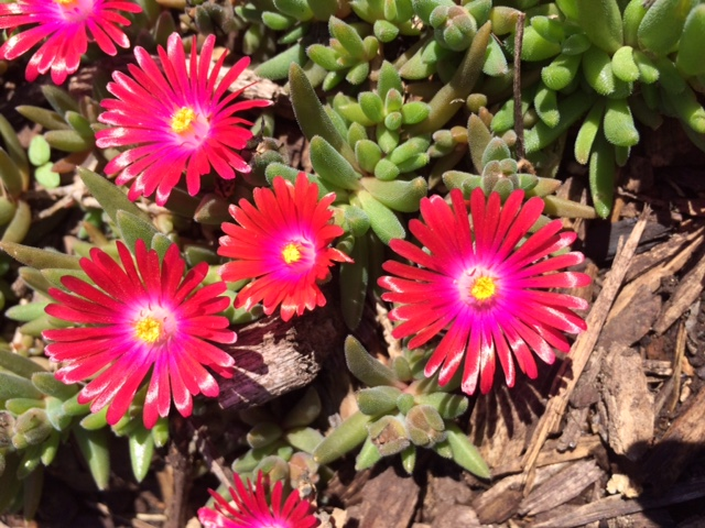 "Ice Plant Blooms with ""Crystallized"" Stems"