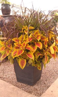 Coleus in Pot with Grass