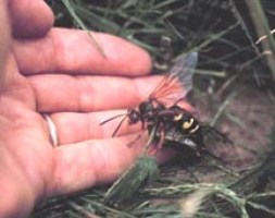 Cicada Killer Hornet 100 Degree