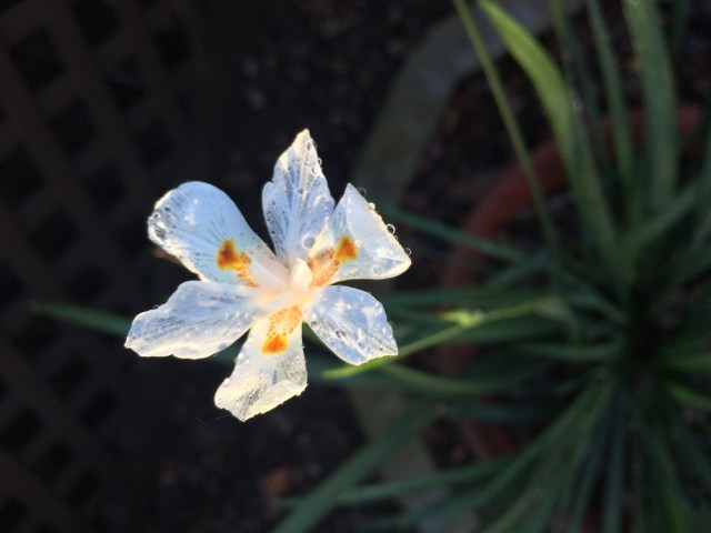 African Iris highlighted by the Sun after Rainshower