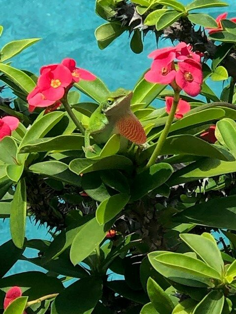 Camouflaged Anole in Crown of Thorns