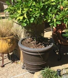 Lime Tree on Heavy Iron Plant Caddy - Great for easily Overwintering Tropicals