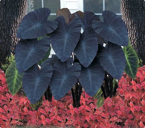 Black Magic Elephant Ears in a bed of Coleus