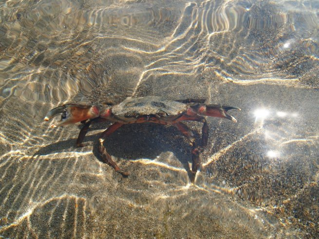 Crab in water