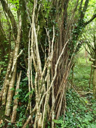 Coppiced hazel rods