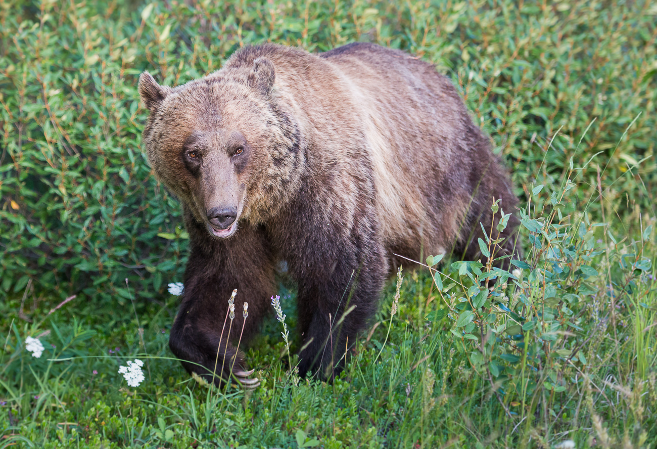 Grizzly Bear 126 | Science