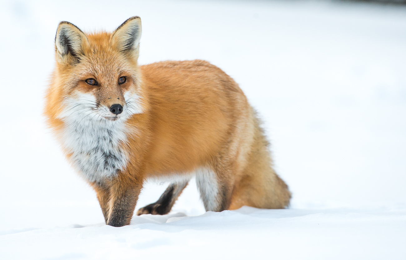 Red Foxes | Science