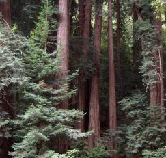 Muir Woods, John Muir, Redwoods, forest, beauty, peace, good tidings, quotations