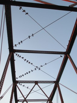 American River, Fair Oaks Bridge, American River Parkway, pigeons, flying, dance, morning