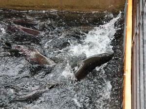 salmon, American River, spawn
