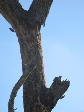 woodpeckers, tree, American River Parkway, jedediah Smith Memorial Trail