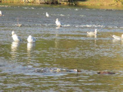 seagull, Chinook Salmon, American River