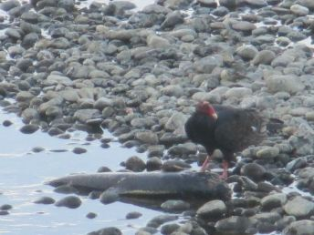 salmon, Chinook Salmon, turkey vulture, seagull, American River, water