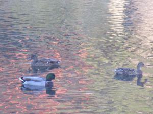 ducks, American River, water, wildlife, waterfowl, peaceful, Fair Oaks Bridge, mornings