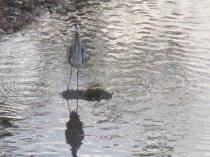 Great Blue Heron, Fair Oaks Bridge, mornings, wildlife, peaceful, waterfowl, American River