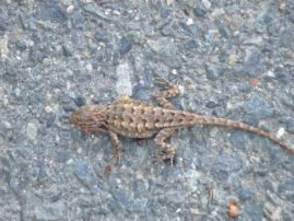 lizard, American River Parkway, wildlife