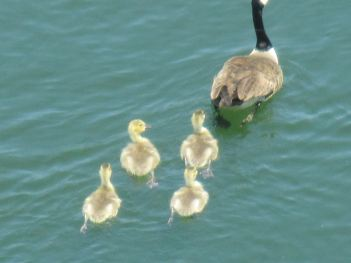 Canada Geese, gostlings, swim, webbed feet, American River, Fair Oaks, boat launch ramp