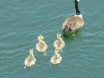 Canada Geese, gostlings, swim, webbed feet, American River, Fair Oaks, boat launch ramp
